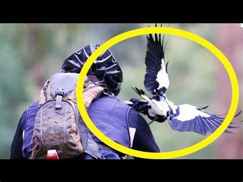 Magpie Cyclist attack caught on camera in Australia - YouTube