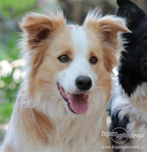 red and white border collies - Google