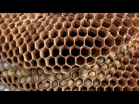 hornets, potter wasps, paper wasps or yellow jackets