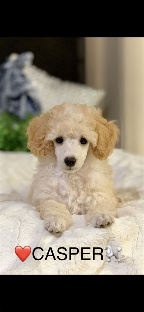 Poodle miniature puppies available   3 months old in