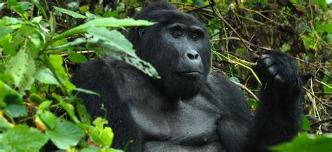 Gorilla flying package to Bwindi Impenetrable Forest