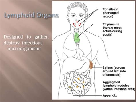 Thymus gland and spleen by Mohammad Mufarreh