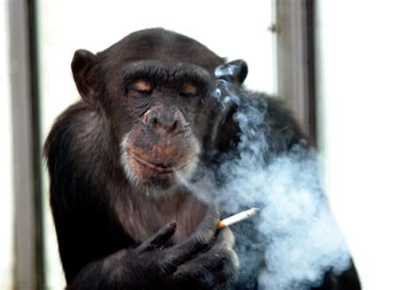 Russian Chimp Goes to Rehab For Cigarette and Alcohol