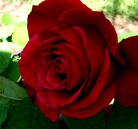 Maroon Roses ~ Rose Flower Pictures