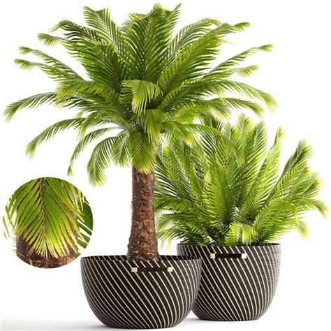 3D Collection of plants Phoenix roebelenii | CGTrader