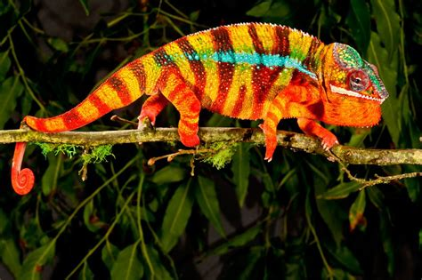 Chameleons don't change colour, they use smart mirrors